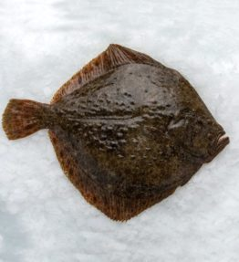 turbot salvatge